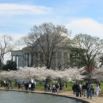 Cherry Blossoms on the Mall