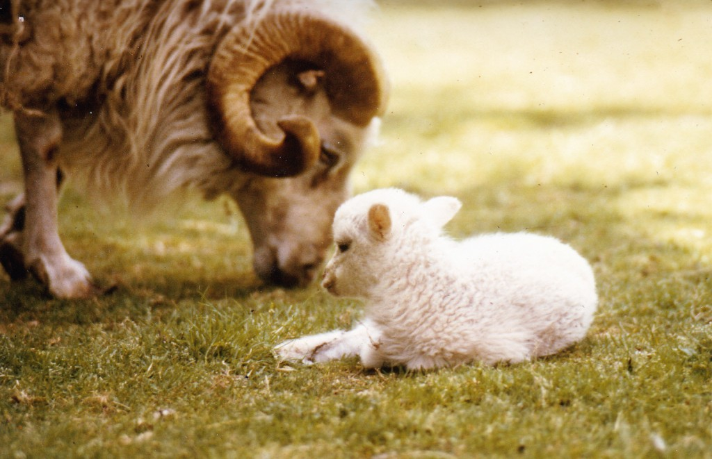 Picture of ram and young sheep
